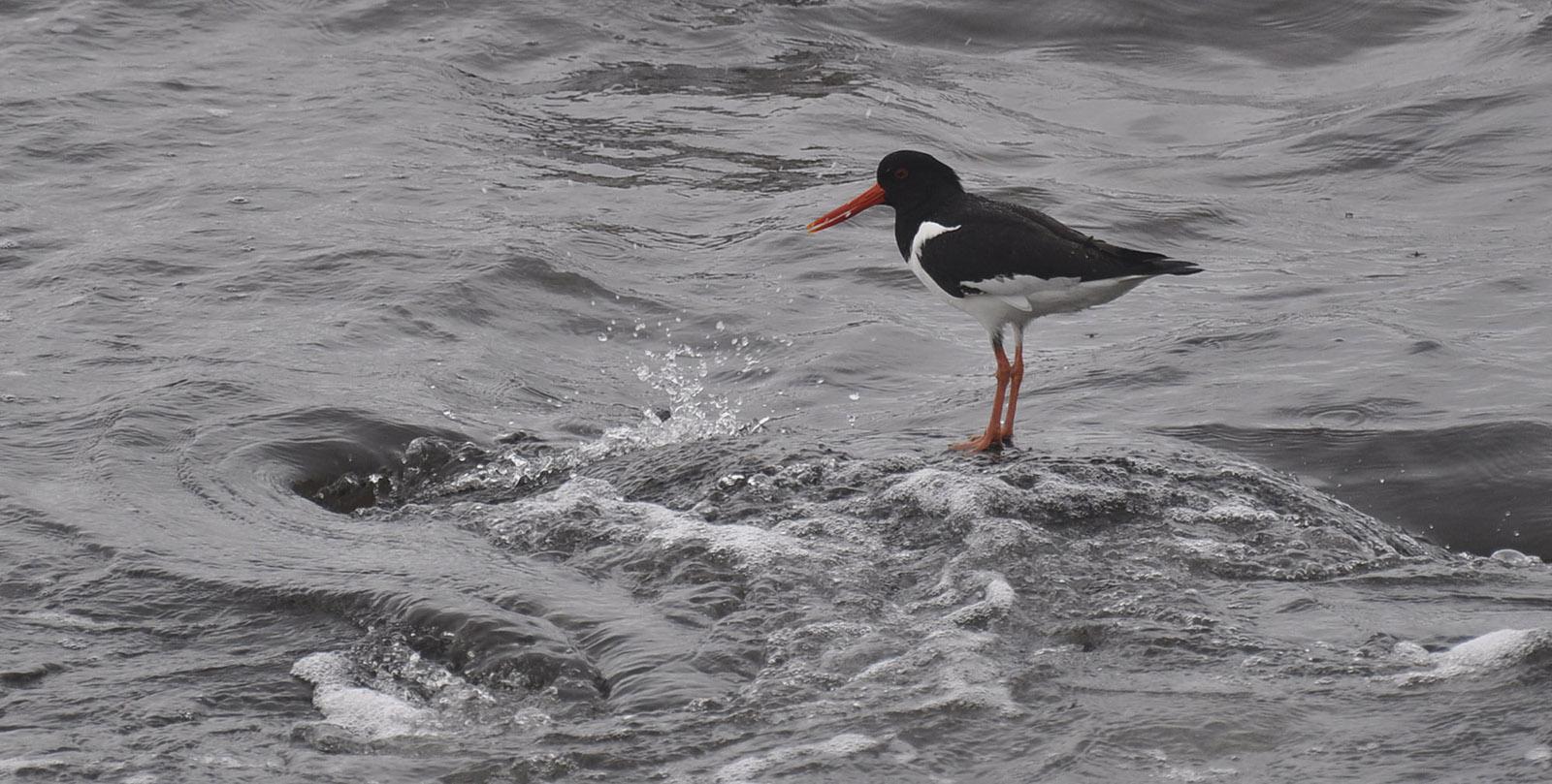 Tjeld – Årets fugl 2018 – er bestanden på vei nedover?
