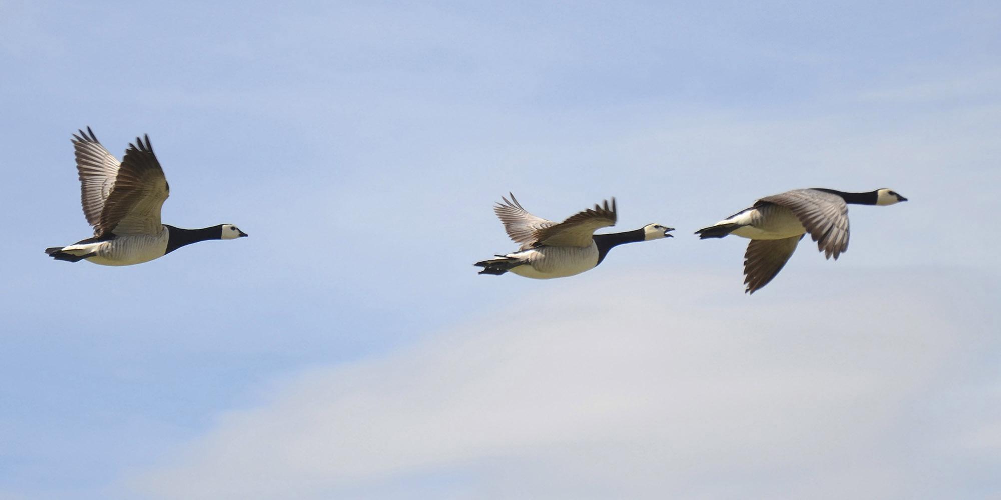 """""""Før fuglene kommer"""" er et nasjonalt prosjekt som har som mål å rydde sjøfuglenes hekkeområder før de kommer på våren. Her en liten flokk hvitkinngjess."""